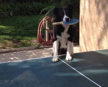 Inteligente Cão Joga Ténis De Mesa Melhor Que Muitos Humanos 1