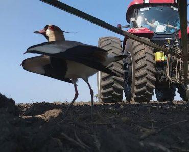 Pássaro Protetor Não Sai De Perto Do Ninho Apesar Da Passagem De Um Gigantesco Trator 4