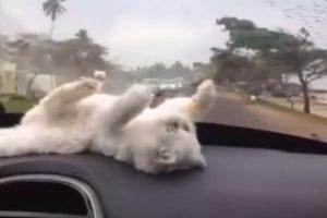 Como Manter o Seu Gato Entretido Durante Uma Viagem De Carro 10