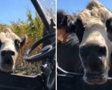 Protetora Vaca Atormenta Trabalhador Que Tentou Chegar Perto Da Sua Cria 2