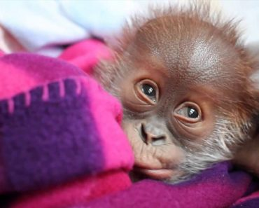 Orangotango Bebé Descobre o Que São Soluços Pela 1ª Vez 1