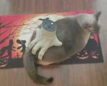 Gato Recebe Massagem De Bizarra Mão Comprada Em Loja De Halloween 6