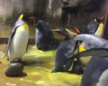Casal Gay De Pinguins Rapta Cria Em Jardim Zoológico Da Dinamarca 1