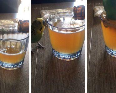 Periquito Apaixonado Por Cerveja Mergulha De Cabeça Para Dentro Do Copo Do Seu Dono 17