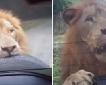 Leão Mostra o Poder Da Sua Dentição Ao Atacar Pneu Suplente De Jipe Durante Visita a Safari 7