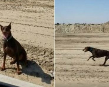 Veloz Dobermann Corre Ao Lado De Um Carro a Quase 50 Km/H 8