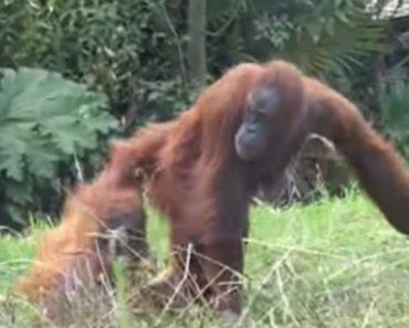 """Pequeno Orangotango Comporta-se Como Uma Criança e Foge Da Mãe Para Brincar No """"Parque Infantil"""" 9"""