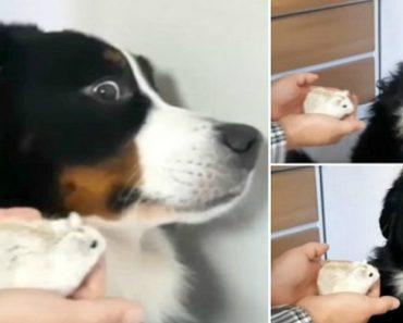 Cão Não Esconde o Desconforto Que Sente Ao Estar Perto De Hamster 9