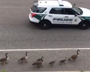 Esta Família De Patos é Tão Especial Que Até Tem Direito a Escolta Policial 9