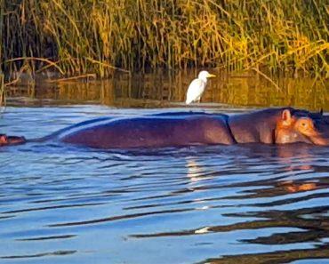 Inoportuna Garça Recusa-se a Sair De Cima De Hipopótamo Durante o Parto 2