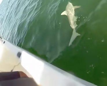 Garoupa Gigante Engole Um Tubarão 3