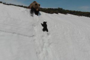 Determinada Cria De Urso Não Desiste De Subir Montanha Coberta De Neve Para Se Juntar à Mãe 10