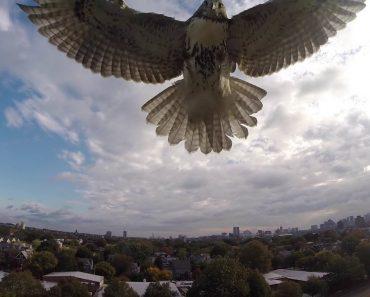 Impressionante Ataque De Um Falcão a Um Drone 7