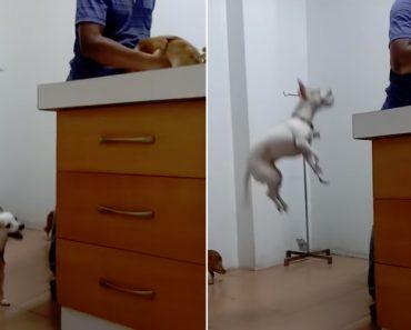 Cachorrinho Salta Repetidamente Para Conseguir Ver o Amigo Que Está a Ser Atendido Pelo Veterinário 3