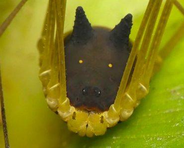 Curiosa Aranha Com Cabeça De Cão Encontrada No Equador 3