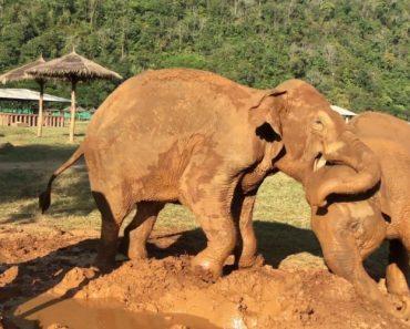 Elefante Recusa-se a Partilhar a Lama Com Outros Elefantes 4