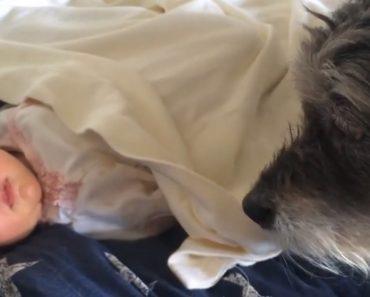 Cão Aconchega Bebé Para Ele Parar De Chorar 7