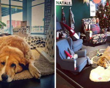 IKEA Abre Portas a Cães Abandonados Para Os Proteger Do Frio 2