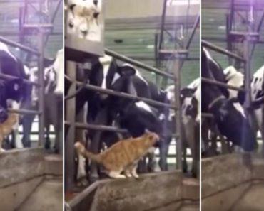 Vacas Ficam Rendidas Aos Encantos De Um Gato 7