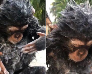 Chimpanzé Asseado Adora Tomar Um Bom Banho Com Muito Champô 3