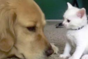Cão Pachorrento Tenta Descansar Enquanto Suporta As Traquinices De Gatinho 10