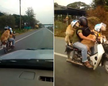 Quantos Cães Podem Ser Transportados Numa Moto?! 3