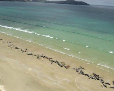 Grupo De 145 Baleias Morre Em Praia Da Nova Zelândia 4