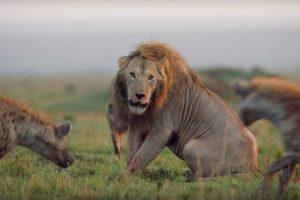 Leão é Cercado e Atacado Por 20 Hienas Antes De Ser Salvo No Último Momento 10