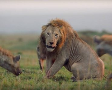 Leão é Cercado e Atacado Por 20 Hienas Antes De Ser Salvo No Último Momento 4