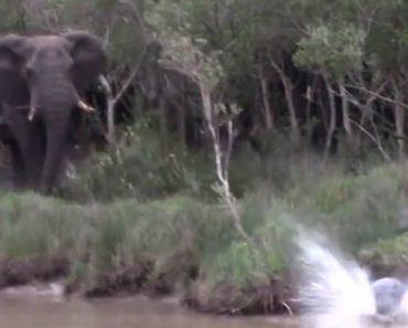 Hipopótamos Correm o Mais Depressa Que Podem Ao Assustarem-se Com Enorme Elefante 4