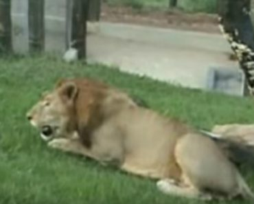 Este Leão Esteve Preso Numa Jaula Durante 13 Anos, a Reação Após Ser Libertado é Maravilhosa 3