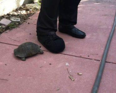 Tartaruga Territorial Tenta Expulsar Humano Do Seu Espaço 1
