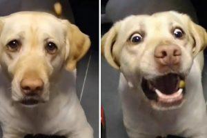 Vídeo Em Câmara Lenta Capta As Diferentes Expressões De Um Labrador A Tentar Apanhar Um Biscoito 7