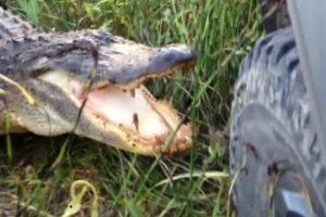 Crocodilo Destrói Frente De Jipe Apenas Com Uma Dentada 10