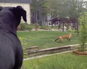 Raposa Encontra Brinquedo De Cão e Proporciona Momento Incrível 1