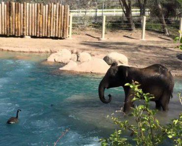 Elefante Não Gostou De Ver Ganso No Seu Espaço, Mas a Ave Não Se Deixou Intimidar 4