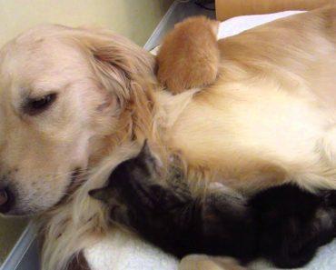 3 Gatinhos Encontram Amor Paternal Num Cão Golden Retriever 8