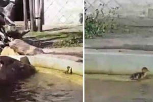 Hipopótamos Ajudam Patinho Desesperado a Sair Da Água 9