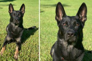 Cão Polícia Morre Baleado Na Véspera De Natal Mas Salva Vida Dos Agentes 10