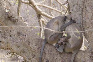 Fotógrafo Filma Momento De Mãe Macaca Desolada Após a Morte Da Sua Cria 10