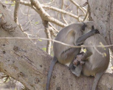 Fotógrafo Filma Momento De Mãe Macaca Desolada Após a Morte Da Sua Cria 1