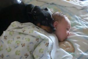 Cão Protetor Não Gosta Que Interrompam o Sono Do Bebé 10
