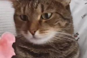 A Reação Deste Gato Quando Lhe Colocam Uma Flor Na Cabeça é Hilariante! 10