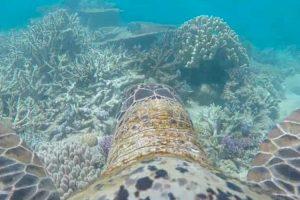 Câmara Colocada Em Tartaruga Capta Imagens Incríveis Da Grande Barreira de Coral 10