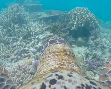 Câmara Colocada Em Tartaruga Capta Imagens Incríveis Da Grande Barreira de Coral 2