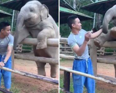 """Elefante Bebé Dá Carinhosas """"Bofetadas"""" Ao Tratador Para Ter a Sua Atenção 5"""