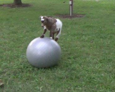 Pequena Cabra Adora Brincar Com Bola De Exercícios 2