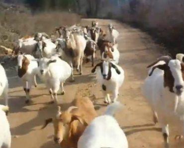 Homem é Seguido Por Cabras Enquanto Faz Jogging Em Caminho Rural 23