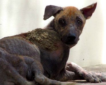A Impressionante Recuperação De Um Cão Resgatado Da Rua Que Estava a Morrer De Sarna 1
