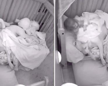 Menina Aconchega Pitbull Com Cobertor Na Hora De Dormir 9
